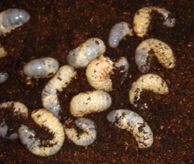 カブトムシ幼虫1.JPG