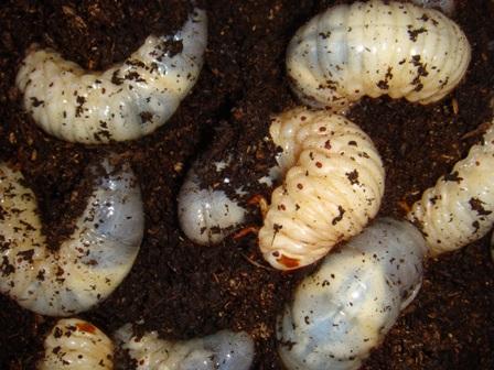 カブトムシ幼虫2.JPG